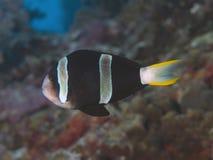 Clownfish dalla coda gialla Fotografie Stock