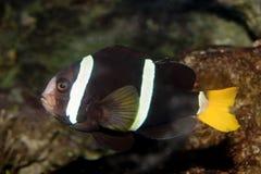Clownfish dalla coda gialla (clarkii del Amphiprion) Fotografie Stock Libere da Diritti