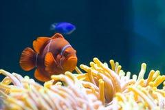 Clownfish dans l'anémone Photo stock