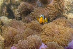 Clownfish dans l'anémone Photographie stock