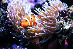 Clownfish dans l'anémone Photo stock
