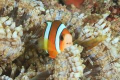 Clownfish dans l'anémone de centre serveur Image stock
