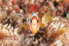 Clownfish dans l'anémone de centre serveur Images stock