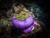 Clownfish dans l'anémone Espèce marine Photo stock