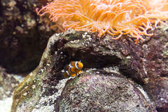 Clownfish dans l'aquarium Images libres de droits