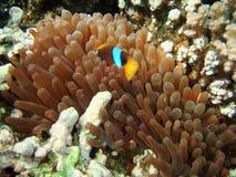 Clownfish dans les algues d'anémone Photographie stock libre de droits