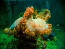 Clownfish dans une actinie colorée Images stock