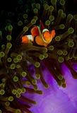 Clownfish, das die Kamera von der Anemone untersucht Stockbild