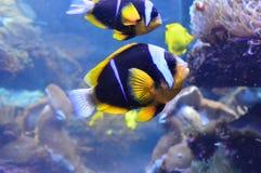 Clownfish de deux Clark nageant près de l'anémone photos libres de droits