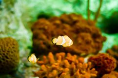 Clownfish de los ocellaris del Amphiprion en acuario marino Fotografía de archivo libre de regalías