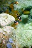 Clownfish de los ocellaris del Amphiprion en acuario marino Fotografía de archivo
