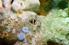 Clownfish de los ocellaris del Amphiprion en acuario marino Imágenes de archivo libres de regalías