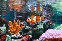 Clownfish de Ocellaris Foto de archivo libre de regalías