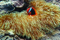 Clownfish in de zeeanemoon Stock Foto's