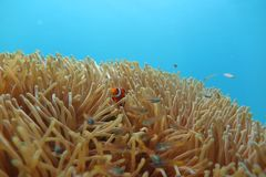 Clownfish in de zeeanemoon Royalty-vrije Stock Foto's