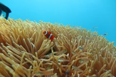 Clownfish in de zeeanemoon Royalty-vrije Stock Foto