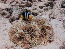 Clownfish & denny anemon Obrazy Royalty Free