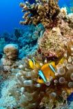 Clownfish in der Anemone Stockfoto