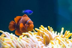 Clownfish in der Anemone stockfoto