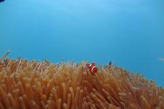 Clownfish in der Seeanemone Stockbilder