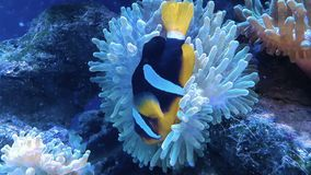 Clownfish di ocellaris del Amphiprion in acquario marino archivi video
