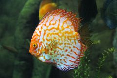 Clownfish di Ocellaris nell'oceano Fotografie Stock Libere da Diritti