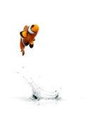 Clownfish di salto fotografie stock