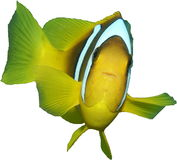 Clownfish do Mar Vermelho isolado foto de stock royalty free