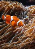 Clownfish dos ocellaris do Amphiprion no aquário marinho Imagem de Stock