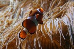 Clownfish dos ocellaris do Amphiprion no aquário marinho Fotografia de Stock Royalty Free
