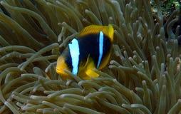 Clownfish e anemone Fotos de Stock Royalty Free