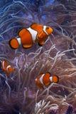 Clownfish e anemonefish Imagens de Stock Royalty Free