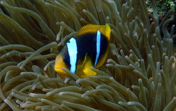 Clownfish ed anemone Fotografie Stock Libere da Diritti