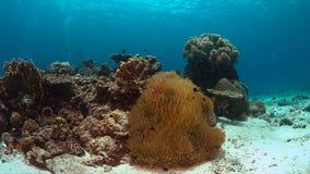 Clownfish in een zeeanemoon Royalty-vrije Stock Foto