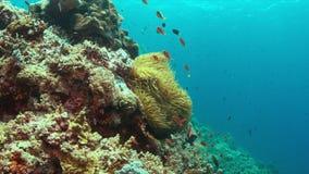 Clownfish in een zeeanemoon 4K stock footage