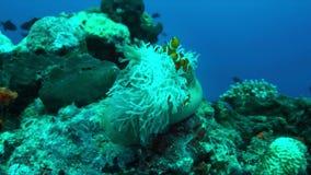 Clownfish in een zeeanemoon 4K stock videobeelden