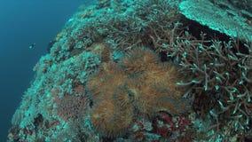Clownfish in een zeeanemoon 4K stock video
