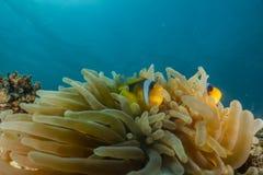 Clownfish ??? ?????? ??????? ?????????? ??? ?????? στοκ εικόνες