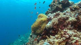 Clownfish in einer Seeanemone Lizenzfreies Stockfoto