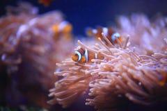 Clownfish eller Anemonefish Fotografering för Bildbyråer