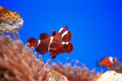 Clownfish eller Anemonefish Royaltyfri Foto