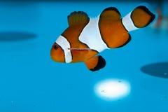 Clownfish en acuario Fotografía de archivo