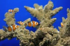 Clownfish en acuario Imagen de archivo libre de regalías