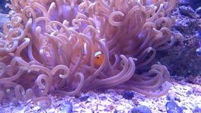 Clownfish en anemoon stock fotografie