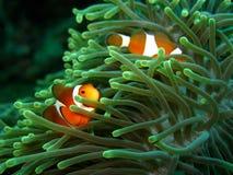Clownfish en anemoon stock foto
