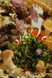 Clownfish en garnalen Stock Foto's
