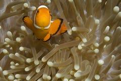 Clownfish en hun anemoon Royalty-vrije Stock Foto