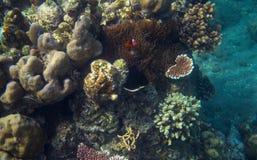 Clownfish en photo sous-marine de bord de la mer tropical Animal de récif coralien Photo libre de droits