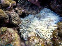 Clownfish en planta de la actinia dentro de un coral redondo Pescados rayados anaranjados y blancos del payaso imagen de archivo