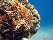 Clownfish en Zeeanemoon Royalty-vrije Stock Afbeeldingen